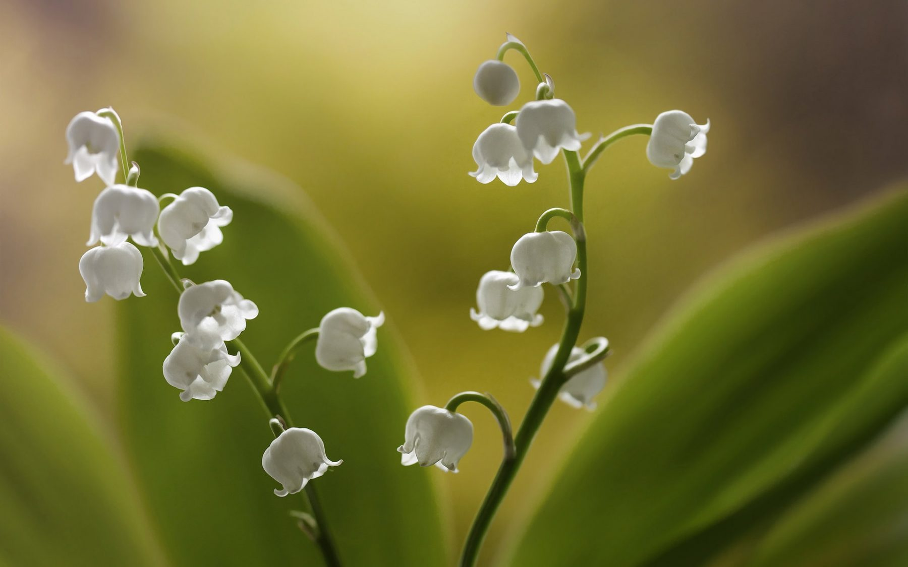 Lilies-of-the-valley-white-little-flowers_1920x1200